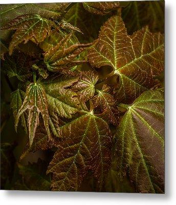 Maple Leaf Abstract Metal Print by Paul Freidlund