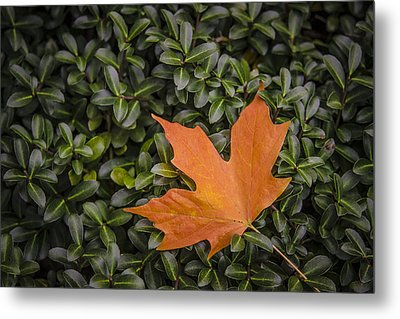 Maple Leaf On Boxwood Metal Print