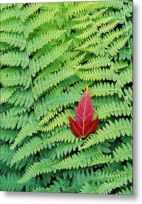 Metal Print featuring the photograph Maple Leaf On Ferns by Alan L Graham