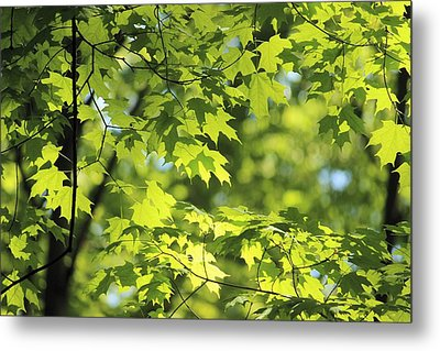 Metal Print featuring the photograph Maple Leaves In Spring by Dennis Lundell