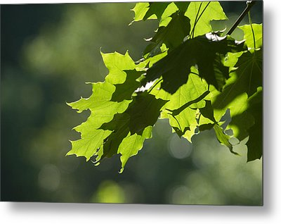 Maple Leaves In Summer Metal Print