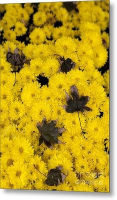 Maple Leaves On Chrysanthemum Metal Print by William Kuta