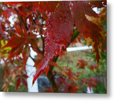 Maple Red Metal Print