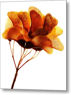 Maple Seed Pod Cluster Metal Print