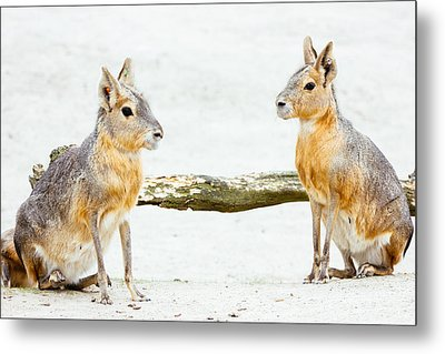 Mara Rodent Animals Metal Print