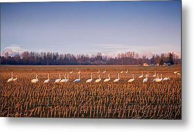 March Of The Swans Metal Print