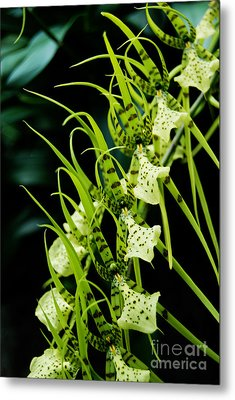 Metal Print featuring the photograph Marching Orchids by Eva Kaufman