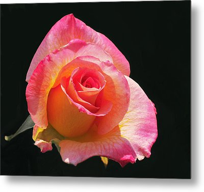 Mardi Gras Floribunda Rose Metal Print by Rona Black