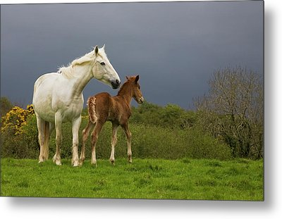 Mare And Foal, Co Derry, Ireland Metal Print