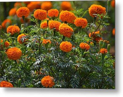 Marigold Flowers  Metal Print by Johnson Moya