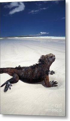 Marine Iguana Metal Print