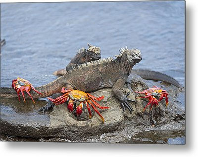 Marine Iguana Pair And Sally Lightfoot Metal Print by Tui De Roy