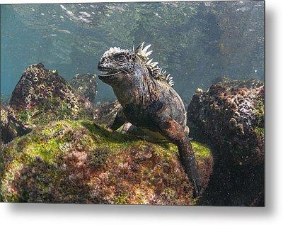 Marine Iguana Rabida Island Galapagos Metal Print by Tui De Roy