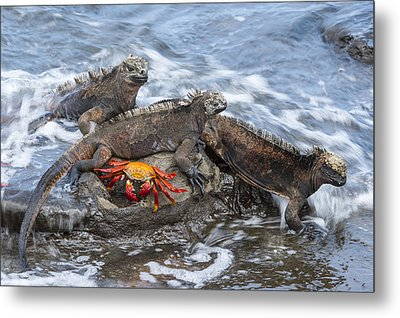 Marine Iguana Trio And Sally Lightfoot Metal Print by Tui De Roy