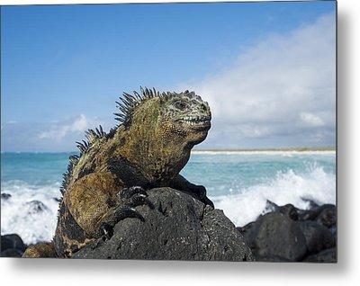 Marine Iguana Turtle Bay Santa Cruz Metal Print by Tui De Roy