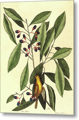 Mark Catesby,english, 1679-1749, The Yellow Titmouse Metal Print by Litz Collection