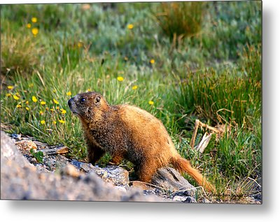 Marmot In Spring Metal Print by Rebecca Adams