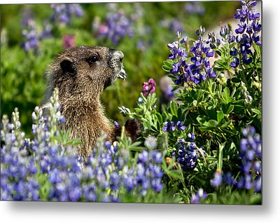 Marmot Mount Rainier National Park Metal Print by Bob Noble Photography