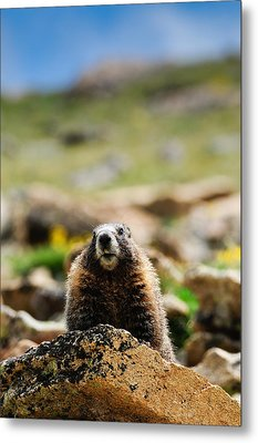 Marmot On A Rock Metal Print by Bonnie Fink
