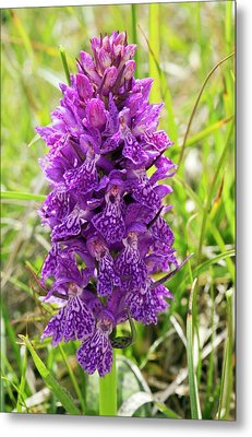 Marsh Orchid (dactylorhiza Osmanica) Metal Print by Bob Gibbons