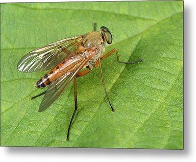Marsh Snipe-fly Metal Print by Nigel Downer