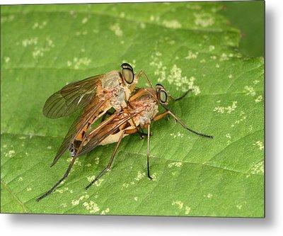 Marsh Snipeflies Metal Print by Nigel Downer