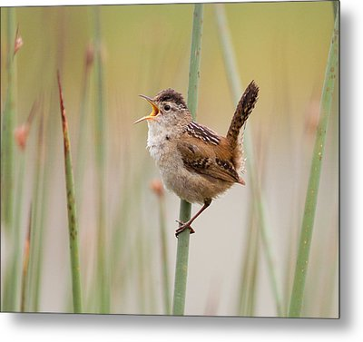 Marsh Wren Metal Print by Doug Herr