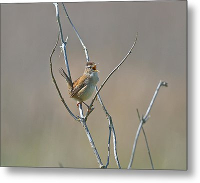Metal Print featuring the photograph Marsh Wren by Kathy King