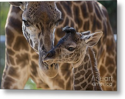 Masai Giraffe And Calf Metal Print