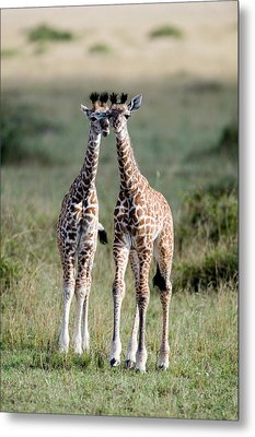Masai Giraffes Giraffa Camelopardalis Metal Print by Panoramic Images