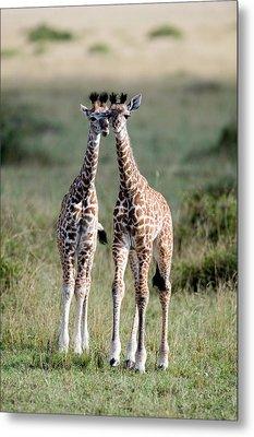 Masai Giraffes Giraffa Camelopardalis Metal Print