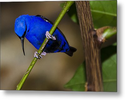 Masked Blue Bird Metal Print by Penny Lisowski