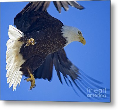 Metal Print featuring the photograph Master Of The Sky by Nick  Boren