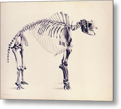 Mastodon Fossil Skeleton Metal Print