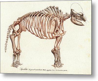 Mastodon Skeleton Metal Print by Collection Abecasis