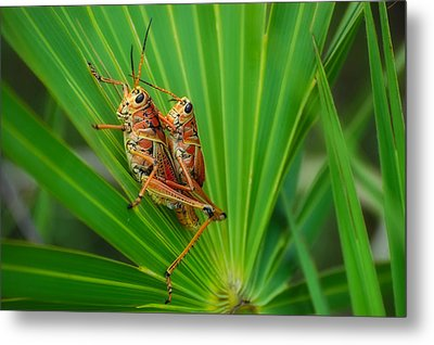 Mating Southeastern Lubber Grasshoppers Metal Print