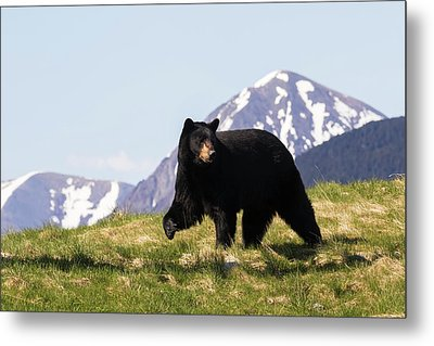 Mature Black Bear  Ursus Americanus Metal Print