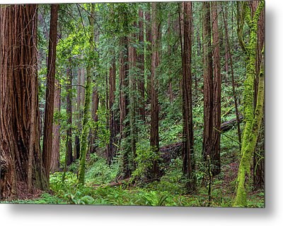 Mature Redwood Forest In Muir Woods Metal Print