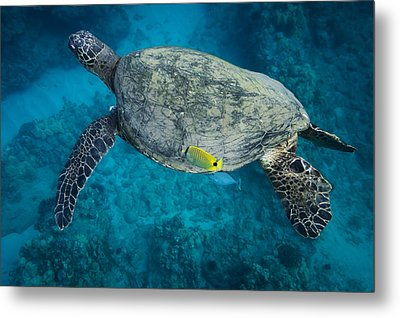 Metal Print featuring the photograph Maui Sea Turtle Cleaning by Don McGillis