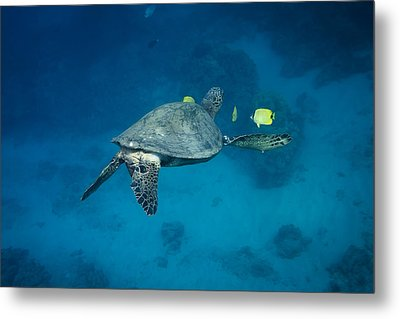 Metal Print featuring the photograph Maui Sea Turtle Cleaning Rear View by Don McGillis