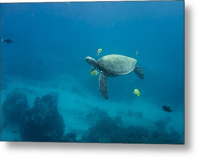 Metal Print featuring the photograph Maui Sea Turtle Cleaning Station Distant by Don McGillis