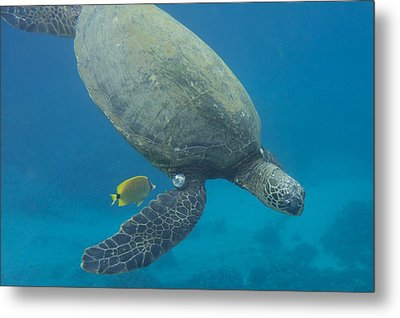 Metal Print featuring the photograph Maui Sea Turtle Dives To Cleaning Station by Don McGillis