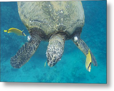 Metal Print featuring the photograph Maui Sea Turtle Gets Cleaned by Don McGillis