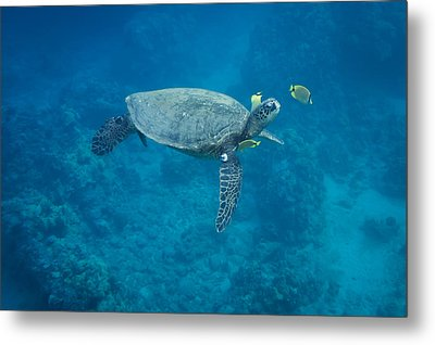 Metal Print featuring the photograph Maui Sea Turtle Head Up Cleaning by Don McGillis