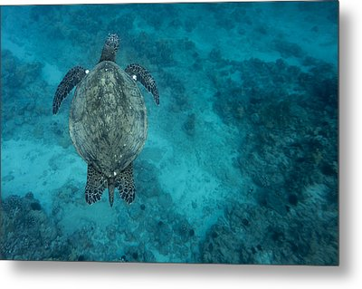 Metal Print featuring the photograph Maui Sea Turtle Scouts For A Spot by Don McGillis