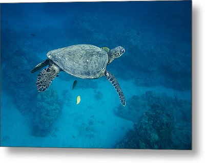 Metal Print featuring the photograph Maui Sea Turtle Suspended With Tail Tucked by Don McGillis