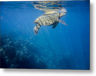 Maui Sea Turtle Takes A Breath At The Surface Metal Print by Don McGillis