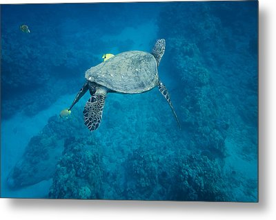Metal Print featuring the photograph Maui Sea Turtle Tucks His Tail For Cleaning by Don McGillis