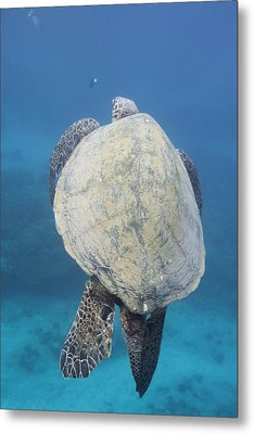 Metal Print featuring the photograph Maui Sea Turtle Vertical by Don McGillis