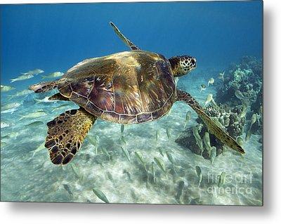 Maui Turtle Metal Print